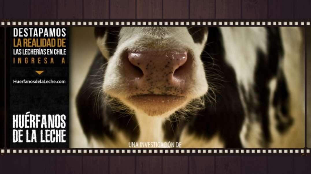 Huerfanos de la leche | Documental Salud